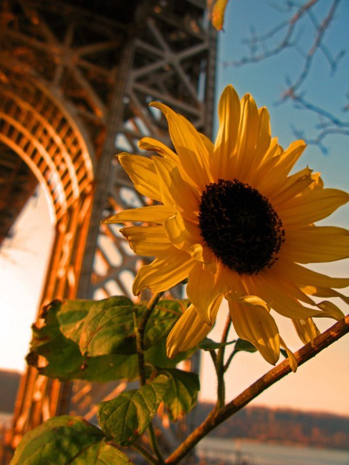 A sunflower in the shadow of the George Washington Bridge