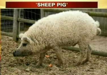 SHEEP PIG!!!!
