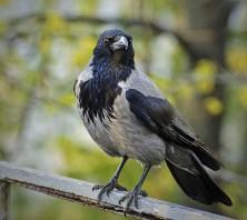 Der Krautpecker