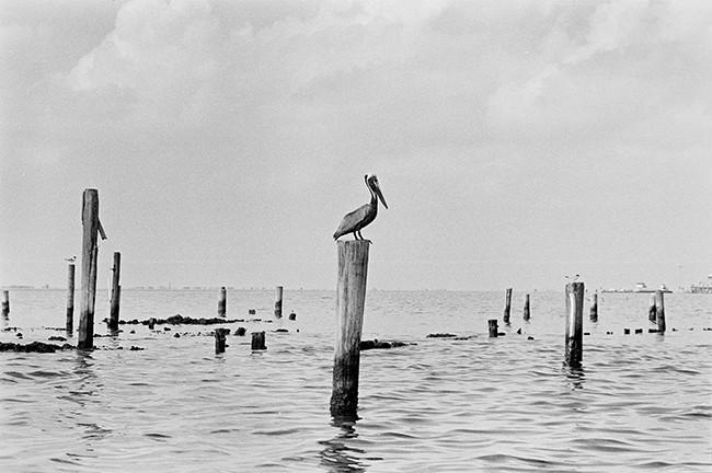 Pelican, Grand Isle, La.
