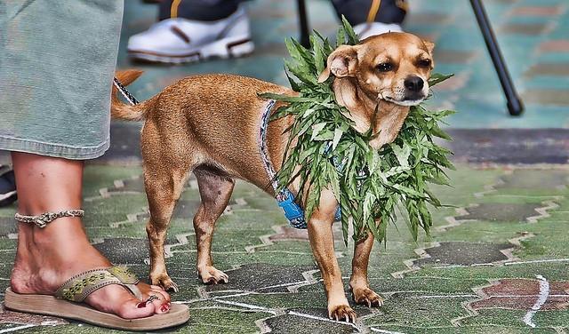 marinuana-dog-obama